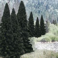 """Fir Trees - Evergreen Blend (2"""" - 4"""")"""