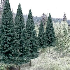 "Spruce Trees - Blue Spruce (2"" - 4"")"