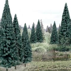"Spruce Trees - Blue Spruce (4"" - 6"")"