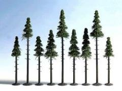 Tall Trunk Fir Trees